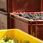 Histoire de raisins